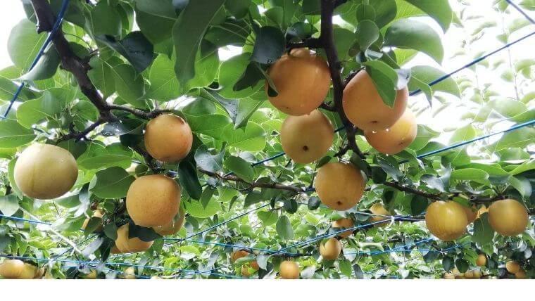 松川梨園で梨狩り体験